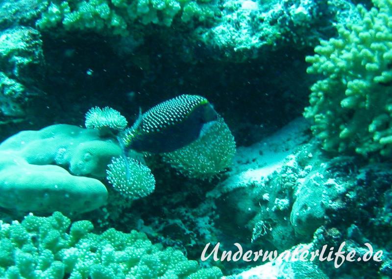 Weisspunkt-Kofferfisch_adult-Malediven-2013-03