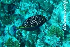 Weisspunkt-Kofferfisch_adult-Malediven-2013-01