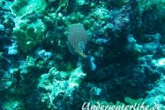 Weisspunkt-Kofferfisch_adult-Malediven-2013-02
