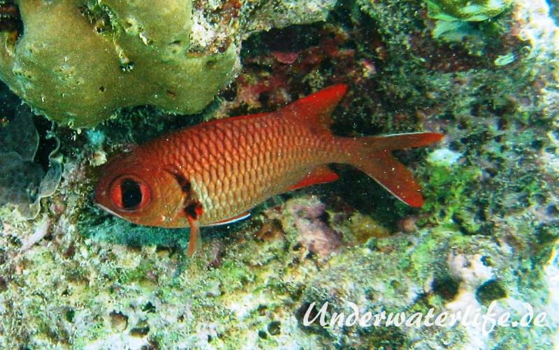 Weisssaum-Soldatenfisch_adult-Malediven-2013-01