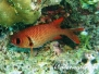 Weißsaum-Soldatenfisch (Myripristis murdjan)