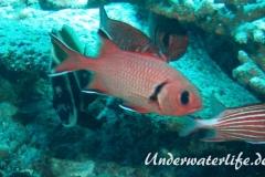 Weisssaum-Soldatenfisch_adult-Malediven-2013-02