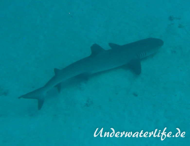Weissspitzen-Riffhai_adult-Malediven-2013-002