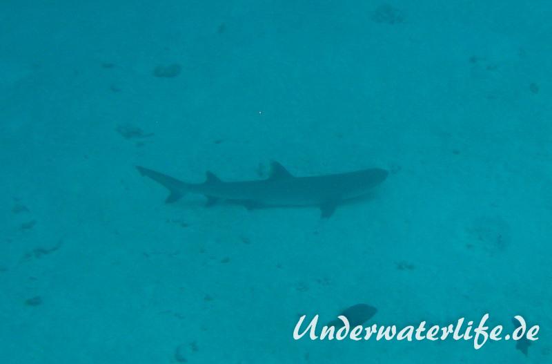 Weissspitzen-Riffhai_adult-Malediven-2013-003