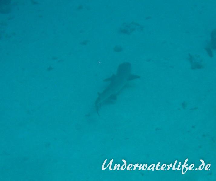 Weissspitzen-Riffhai_adult-Malediven-2013-010