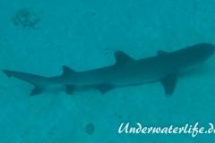 Weissspitzen-Riffhai_adult-Malediven-2013-001