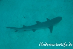 Weissspitzen-Riffhai_adult-Malediven-2013-004