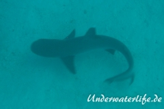 Weissspitzen-Riffhai_adult-Malediven-2013-005
