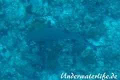 Weissspitzen-Riffhai_adult-Malediven-2013-006