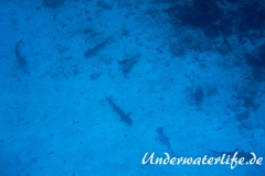 Weissspitzen-Riffhai_adult-Malediven-2013-008