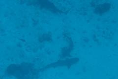 Weissspitzen-Riffhai_adult-Malediven-2013-009