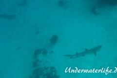 Weissspitzen-Riffhai_adult-Malediven-2013-011