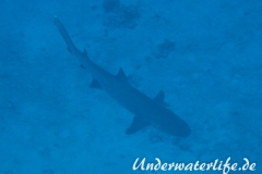 Weissspitzen-Riffhai_adult-Malediven-2013-012