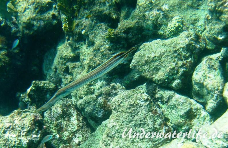 Westatlanitischer Trompetenfisch_adult-Karibik-2014-004