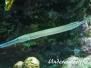 Westatlantischer Trompetenfisch (Aulostomus maculatus)