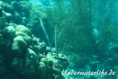 Westatlanitischer Trompetenfisch_adult-Karibik-2014-003
