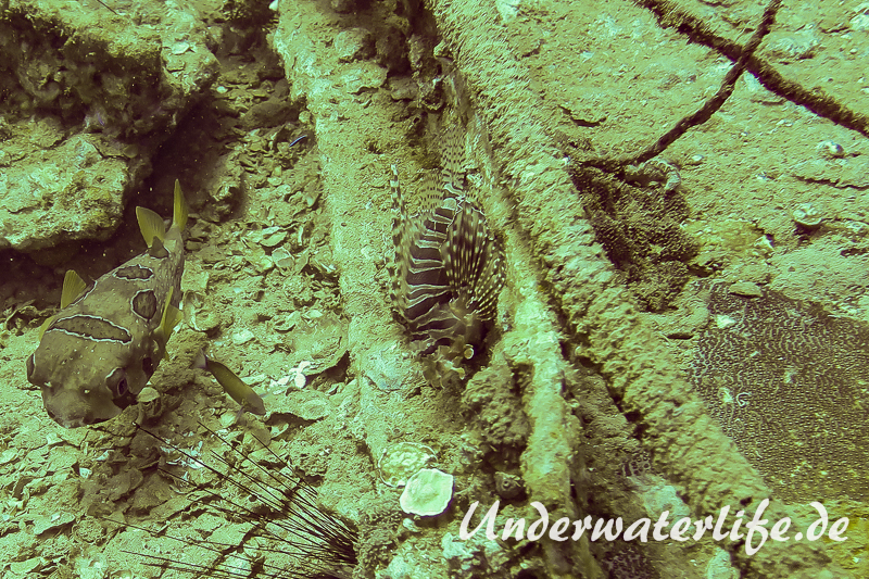 Zebra-Zwergfeuerfisch_adult-Thailand-2017-002