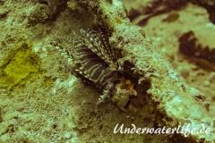 Zebra-Zwergfeuerfisch_adult-Thailand-2017-001