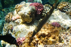 Zigarren-Lippfisch_adult-Marsa alam-2012-1