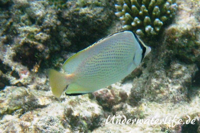 Zitronen-Falterfisch_adult-Malediven-2013-01