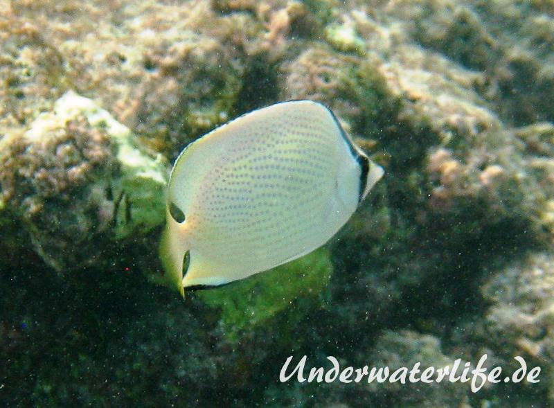 Zitronen-Falterfisch_adult-Malediven-2013-02