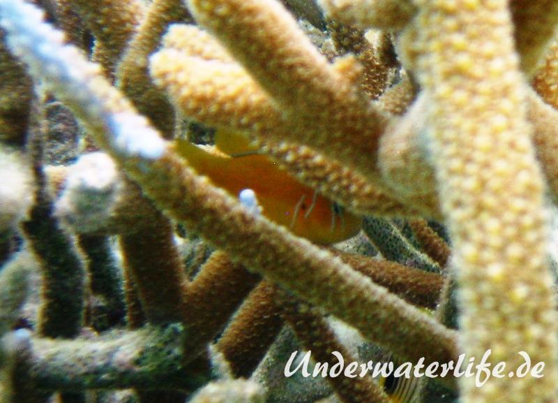 Zitronen-Korallengrundel_adult-Malediven-2013-03
