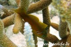 Zitronen-Korallengrundel_adult-Malediven-2013-01