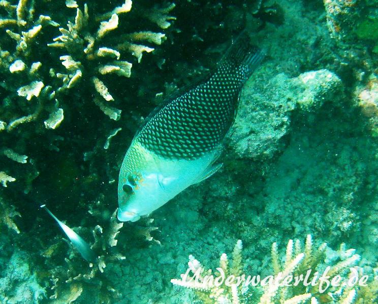 Zweifarben-Bannerlippfisch_adult-Malediven-2013-02