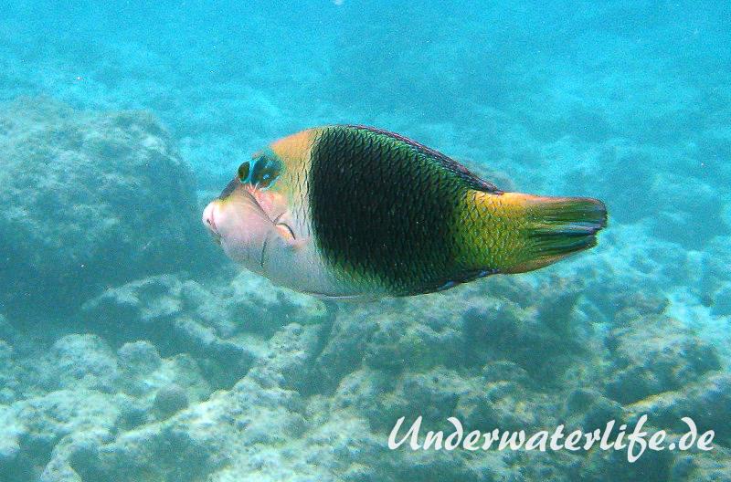 Zweifarben-Bannerlippfisch_adult-Malediven-2013-03