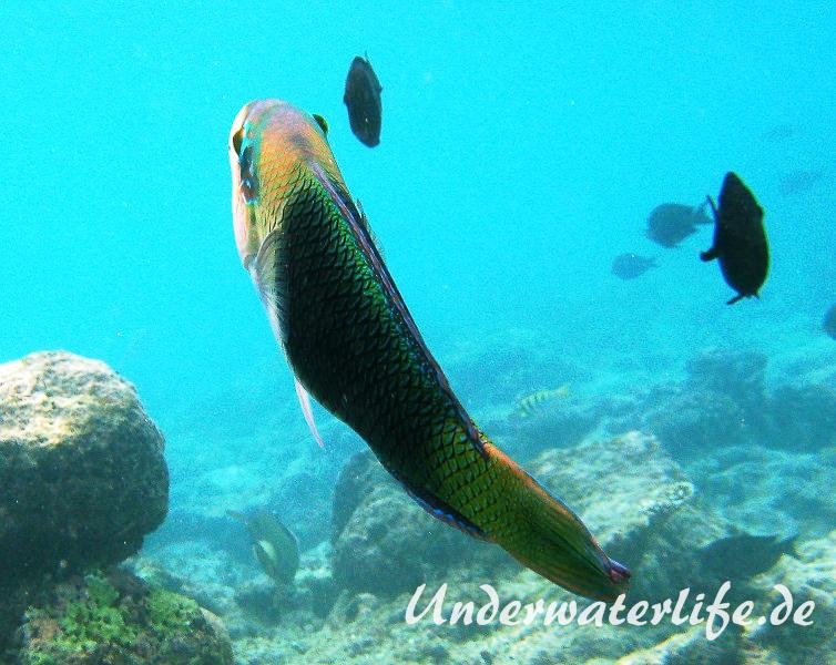 Zweifarben-Bannerlippfisch_adult-Malediven-2013-05