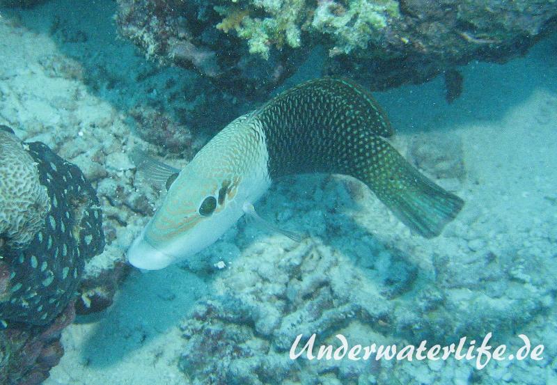 Zweifarben-Bannerlippfisch_adult-Malediven-2013-07