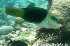 Zweifarben-Bannerlippfisch_adult-Malediven-2013-01