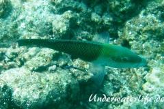 Zweifarben-Bannerlippfisch_adult-Malediven-2013-04