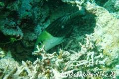Zweifarben-Bannerlippfisch_adult-Malediven-2013-06