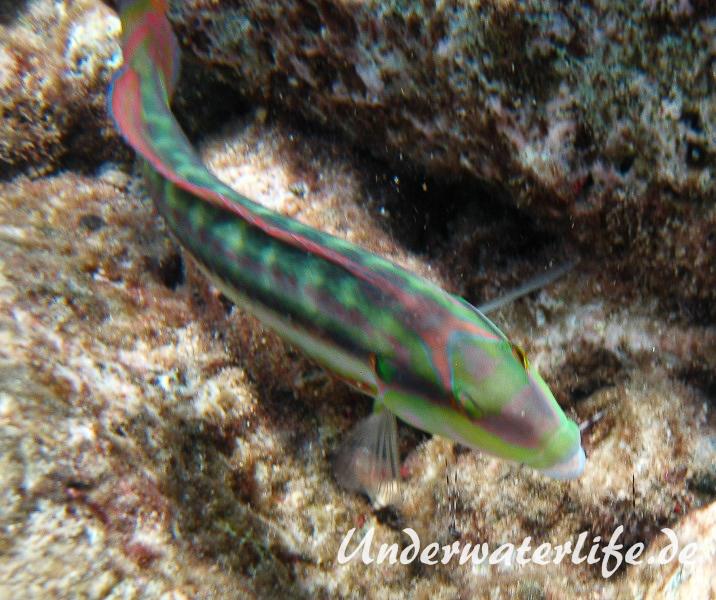 Zweistreifen Lippfisch_adult-Karibik-2014-003
