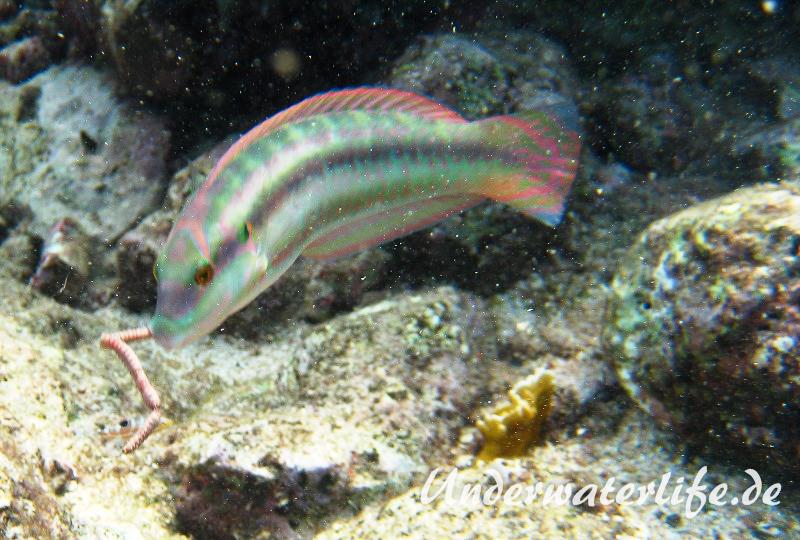 Zweistreifen Lippfisch_adult-Karibik-2014-007