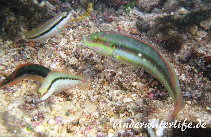Zweistreifen Lippfisch_adult-Karibik-2014-009
