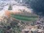 Zweistreifen-Lippfisch (Halichoeres bivittatus)