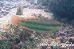 Zweistreifen Lippfisch_adult-Karibik-2014-001