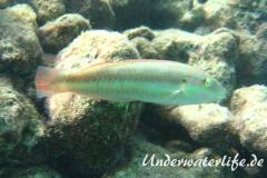Zweistreifen Lippfisch_adult-Karibik-2014-008