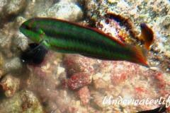Zweistreifen Lippfisch_adult-Karibik-2014-010